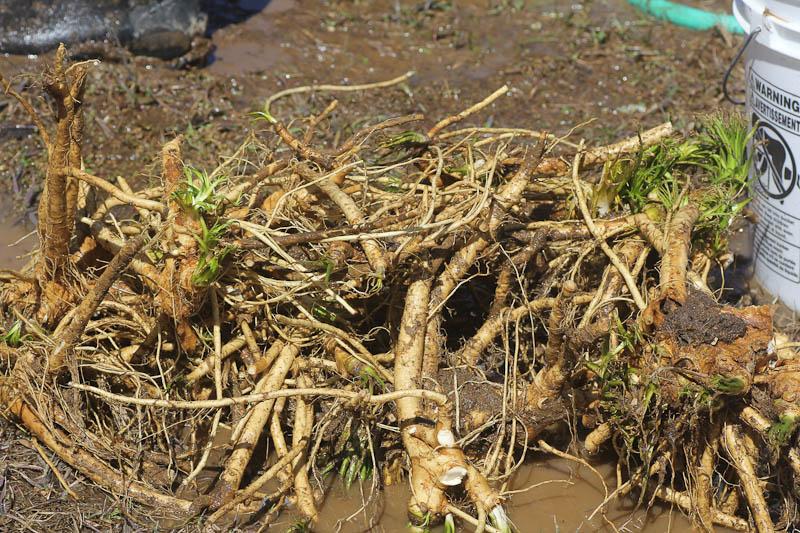 the horseradish harvest