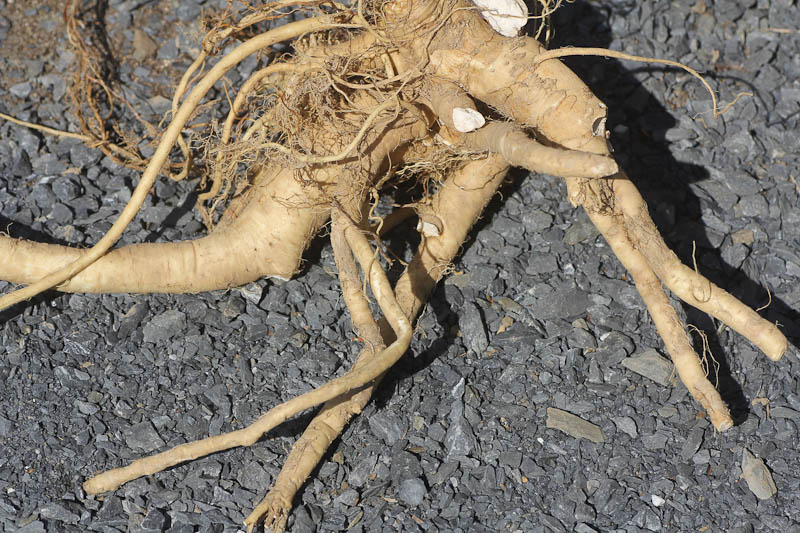 horseradish the root network