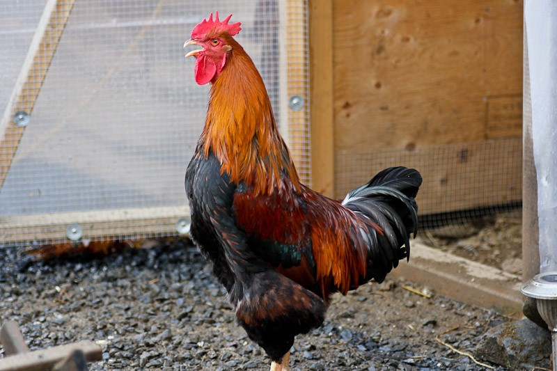 The Welsummer rooster is a gorgeous creature. If you can put up with the crowing they are a very pleasing breed to own.