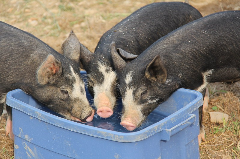 Water bucket for pigs