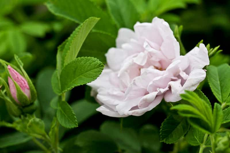 Your garden roses can be used for natural skincare and culinary purposes
