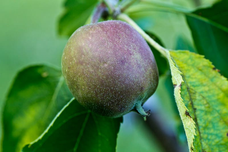 Grow a variety of apples