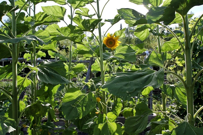 Sunflowers in the Vegetable Garden