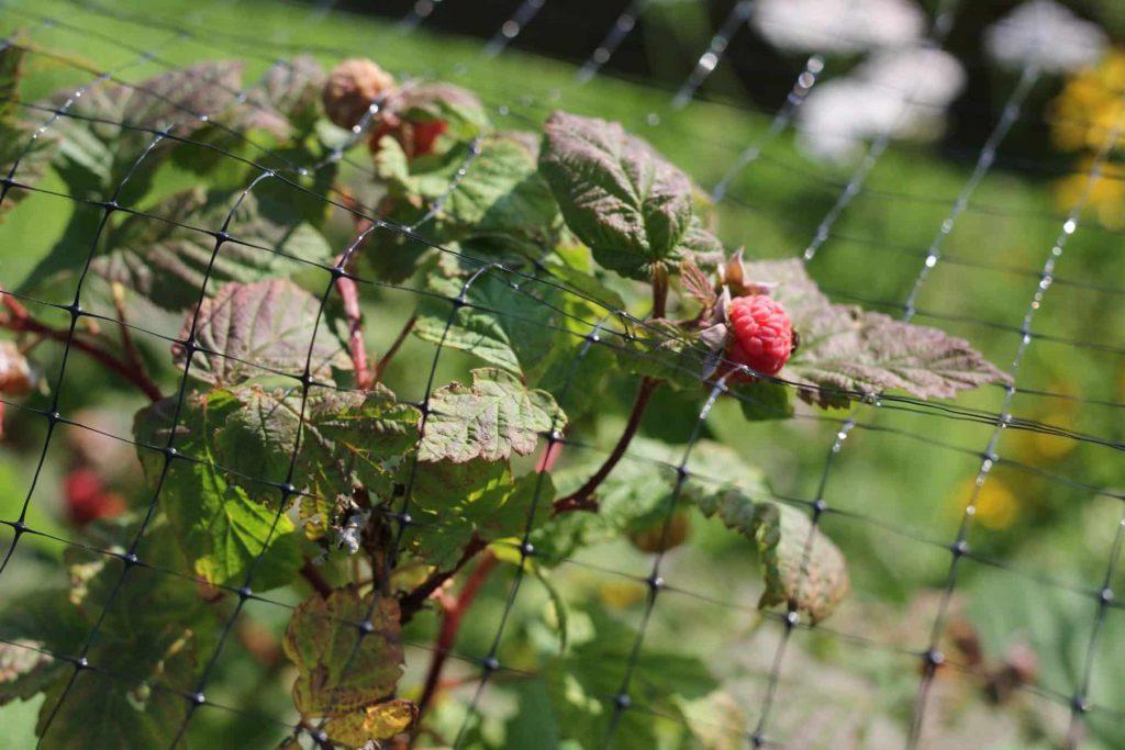 Raspberries Hardy Perennial