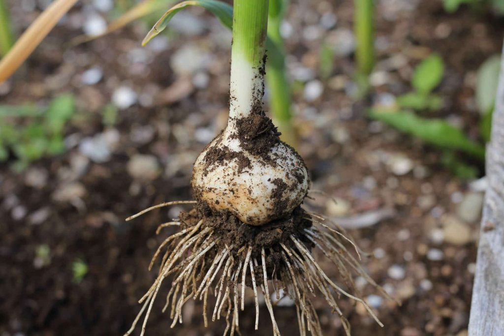 How to Grow Garlic - Harvesting