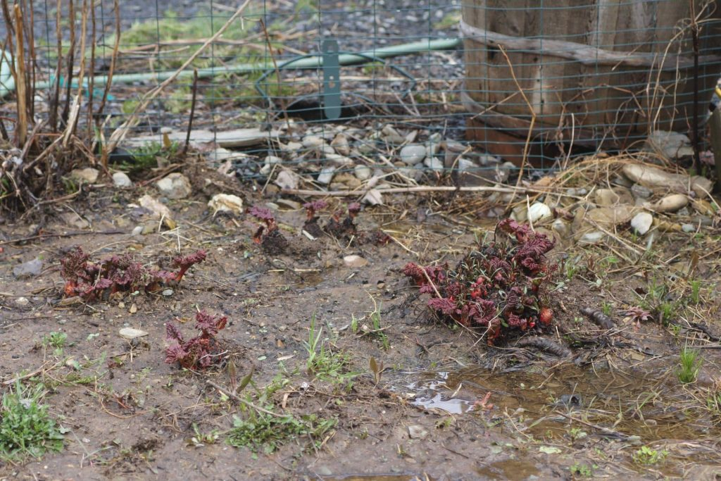 Perennial Edibles Rhubarb