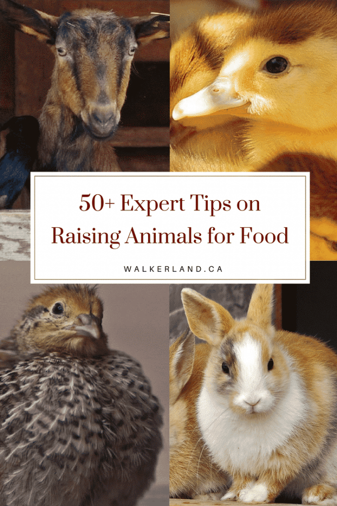 50+ Expert Tips on Raising Animals for Food
