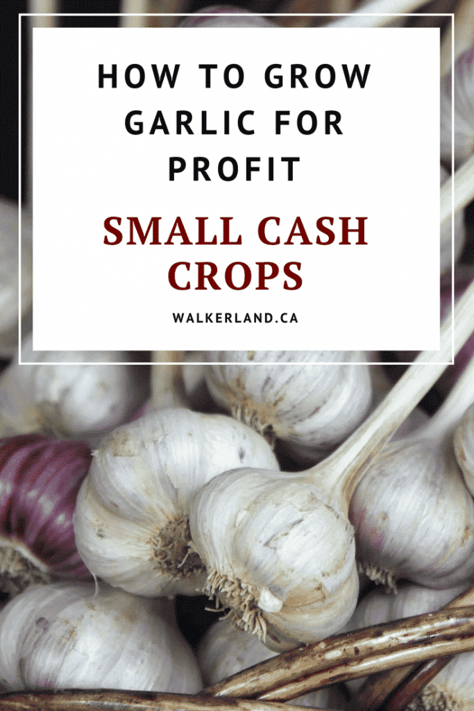 How to grow garlic for profit.