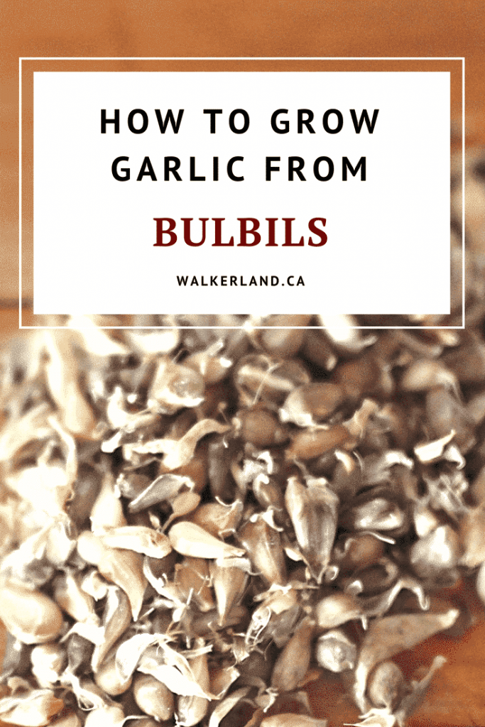 How to grow garlic from umbils/bulbils