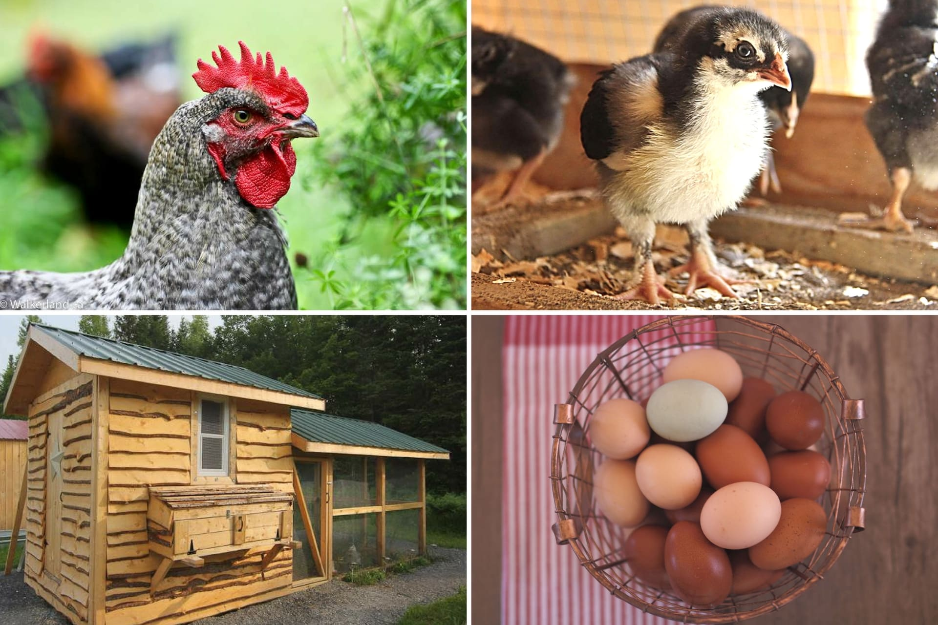 Free raising chickens ebooks Two FREE guides or a full ebook to get you started with your own flock!