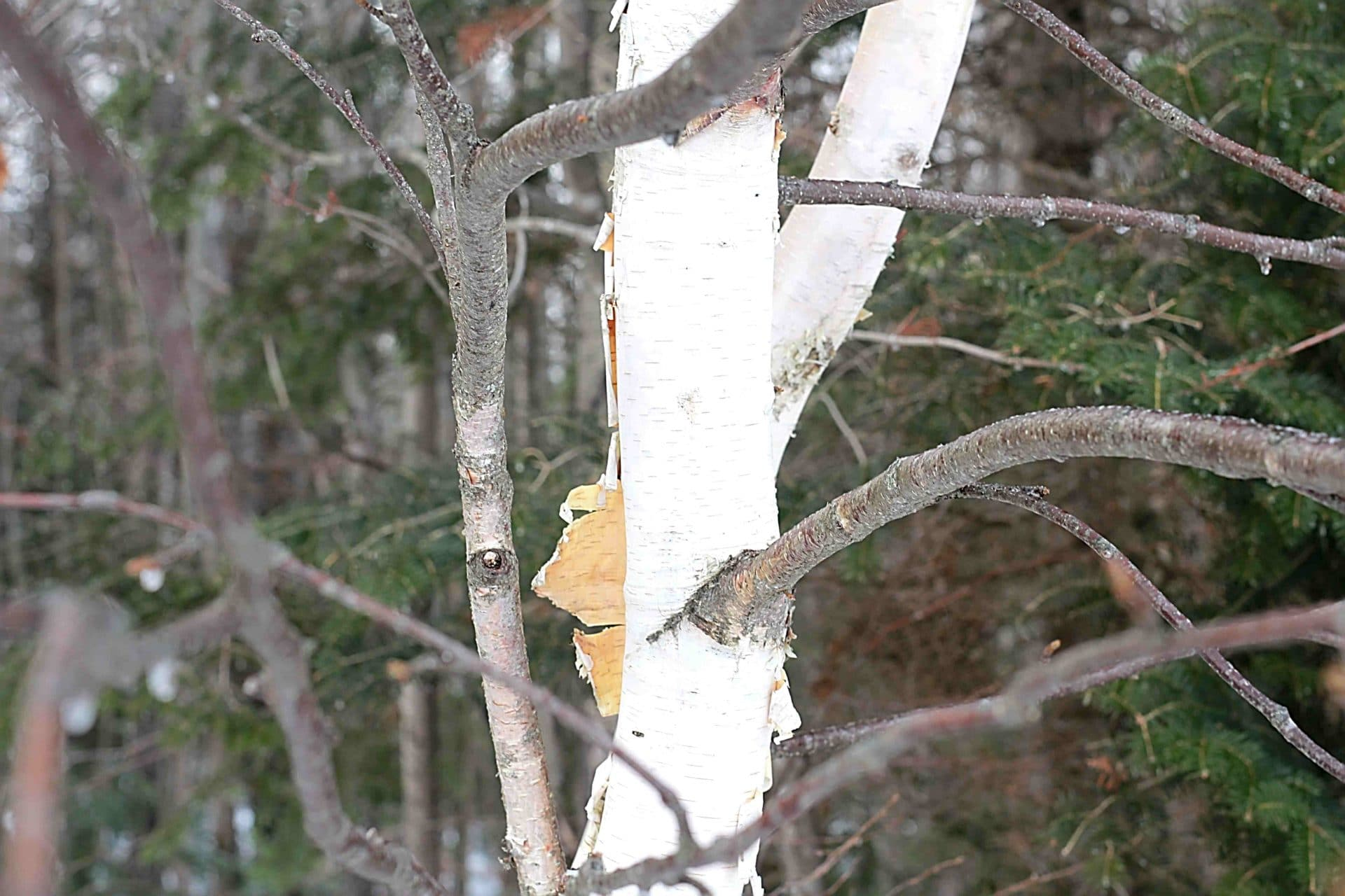 Birch Trees: 10 Practical Ways You Can Use Birch Trees