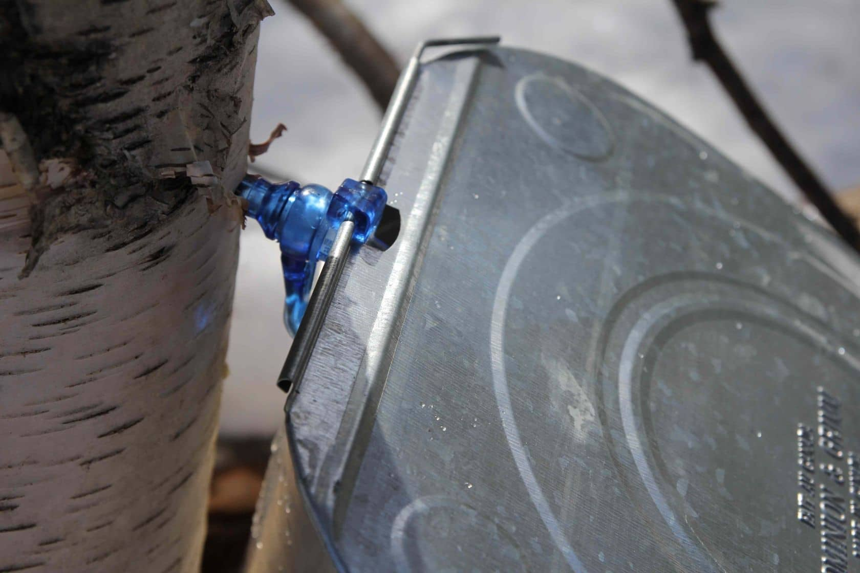How To Tap Birch Trees for Sap