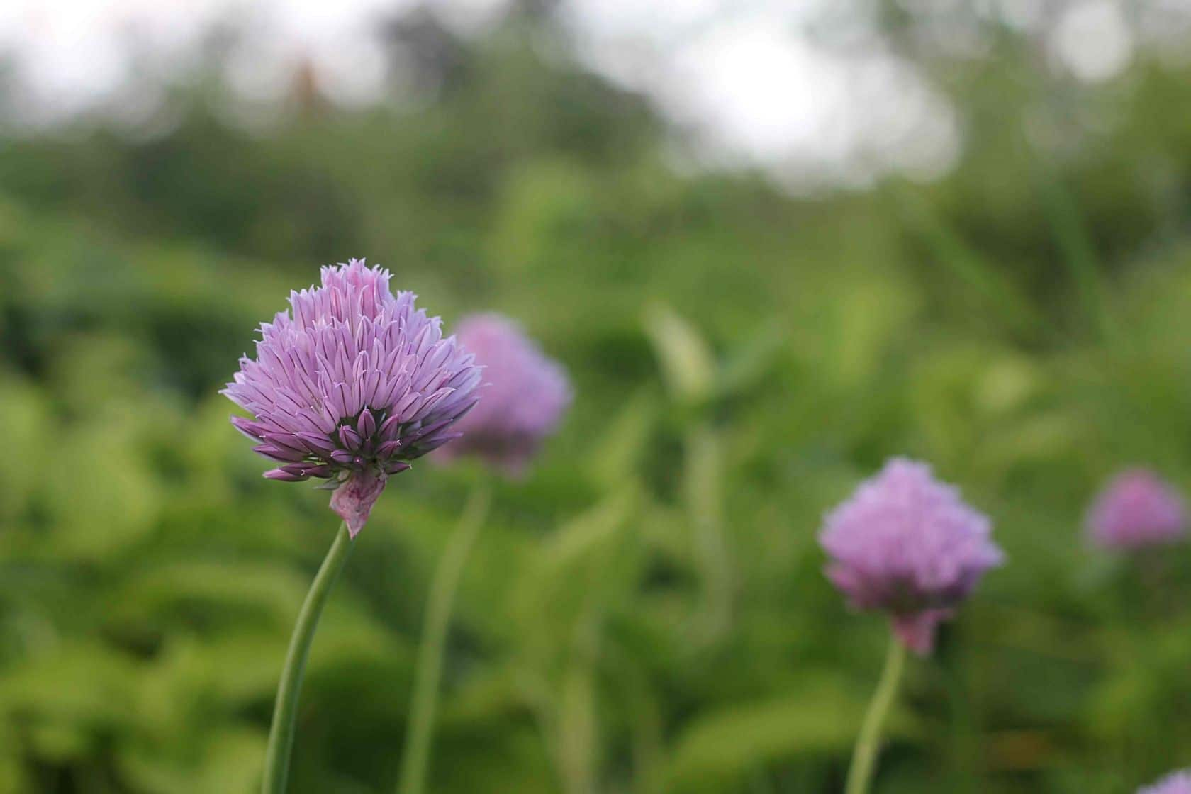 Why You Should Grow Perennial Chives