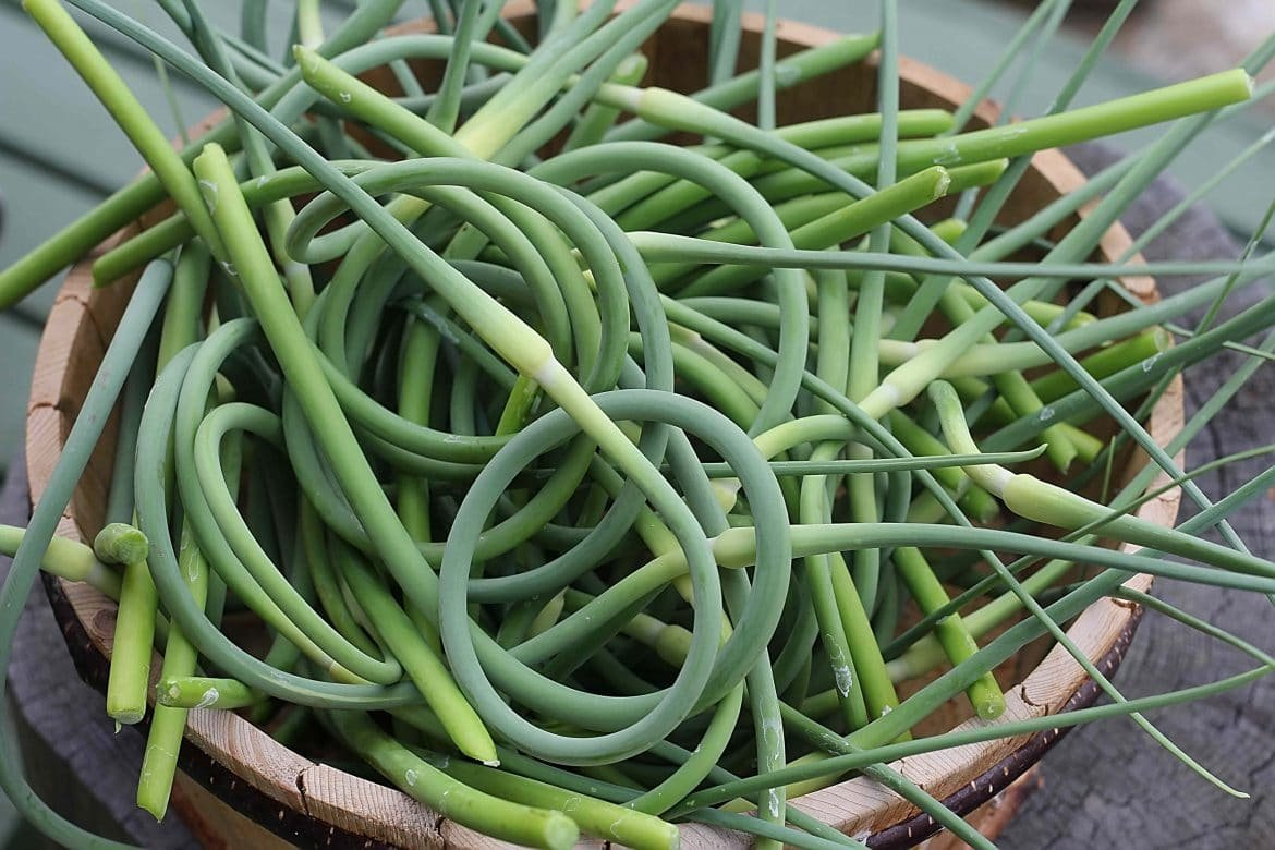 Garlic Scape Recipes: How To Harvest & Preserve Garlic Scapes.