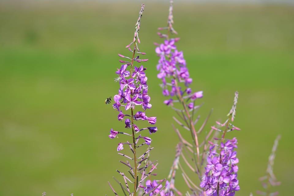Treasured Fireweed Herbal Remedies (Chamerion angustifolium / Onagraceae)
