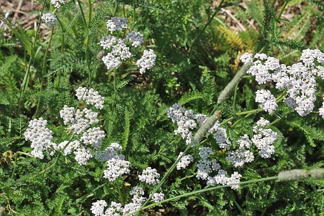 Stop Bleeding With Homemade Yarrow Styptic Powder